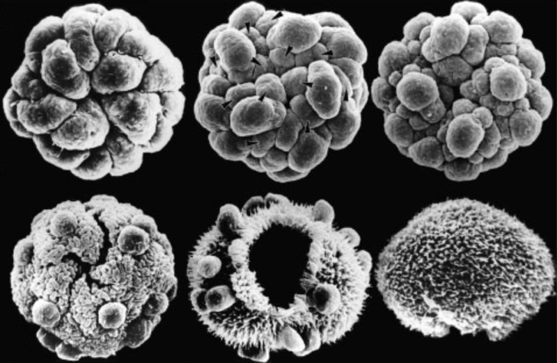 Photo from Kirk, D. L. (2005). <i>A twelve‐step program for evolving multicellularity and a division of labor.</i>